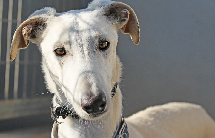 A close up of Alfred who is a white, fuzzy galgo avalible for adoption at Galgos del Sol.