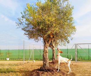 olive-tree-sm.jpg