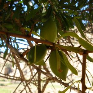 argan fruit.JPG