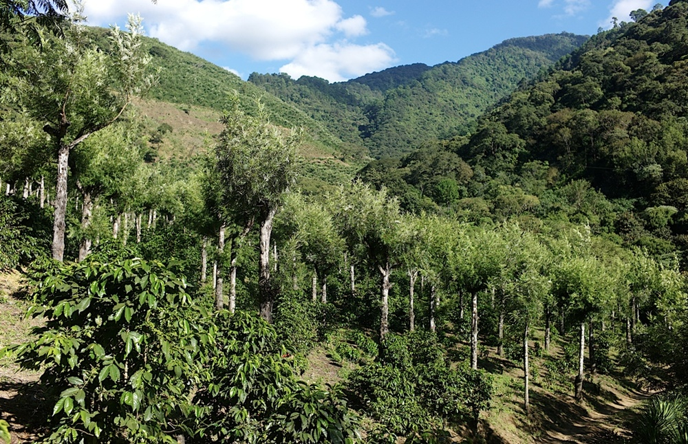 Our most recent Guatemalan offering comes from the Santa Clara Farm, located in the southern slopes of the Antigua Valley, between 5,100 and 6,000 feet. The farm has one of the finest volcanic soils to produce specialty coffee and its owners take great pride in preserving this natural resource. Coffee on the farm is shade grown which helps to preserve the health of the soil as well as provides an important habitat for indigenous birds and insect life. The hand-picked fruit is meticulously processed and washed in a mill with fresh water, then sun dried for days in patios before it's packed for export.   Tasting Notes:  Guatemalan coffees are traditionally well-balanced and this cup is no exception. With mild acidity and a full mouthful, the coffee has flavors of dark chocolate and fresh citrus.   Click here to purchase Guatemala Antigua.