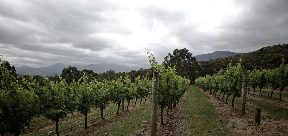 Harriet's Vineyard, November 2015