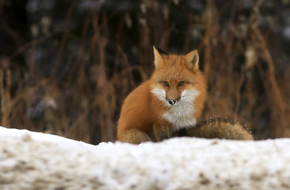 Labrador Fox 1