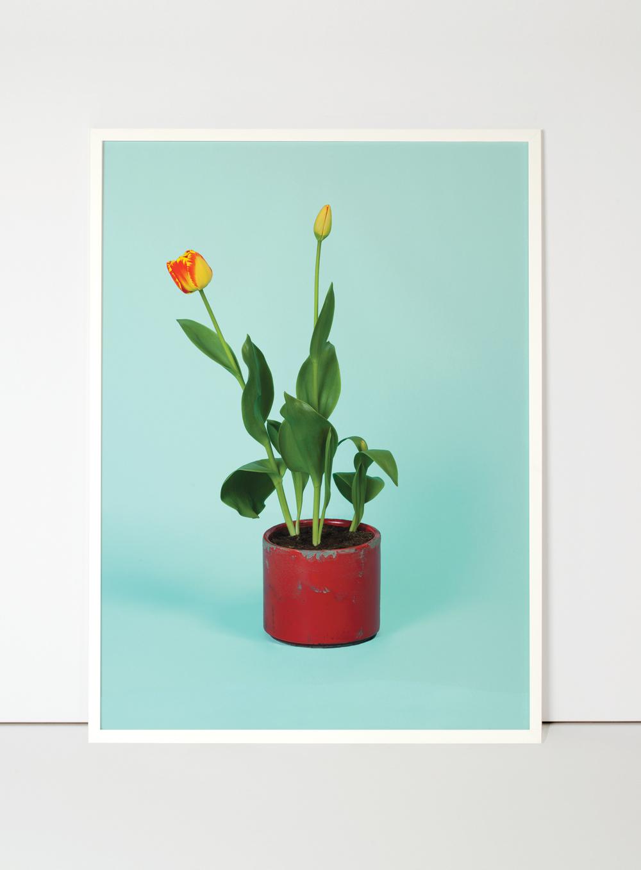 tulipa-flora-indoor.jpg