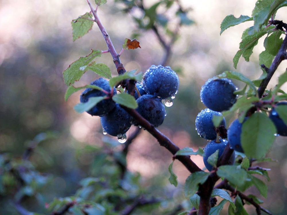 Els aranyons, un fruit silvestre,donen nom al projecte.