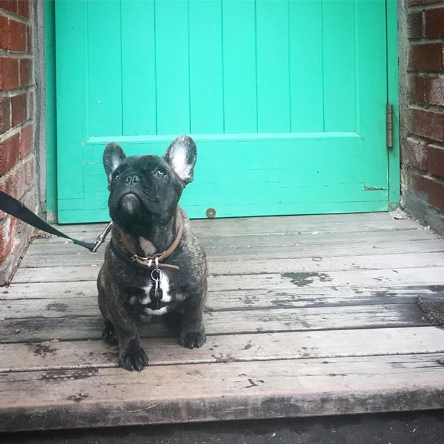 Meet new kid on the block @wallysinternetpage 🔸 #puppiesofinstagram #coffeeshopdogs #puppyparty #gradesdogs #neighborhoodvibes #north8thstreet #williamsburg