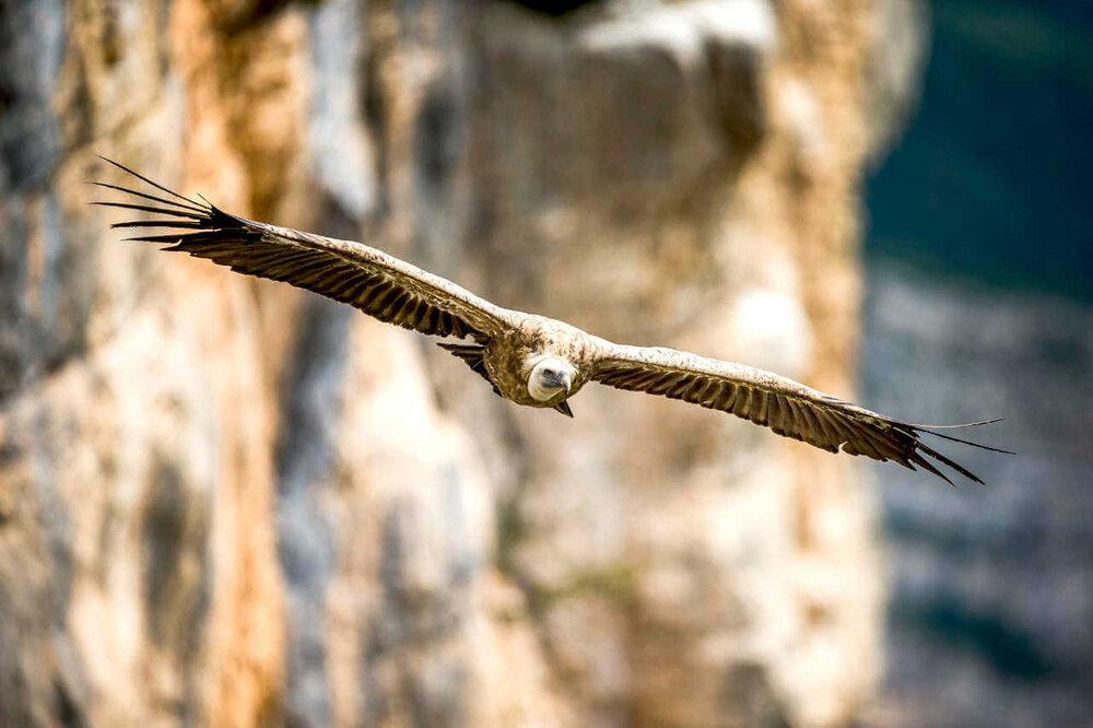 Stage photo animalière et observation des vautours
