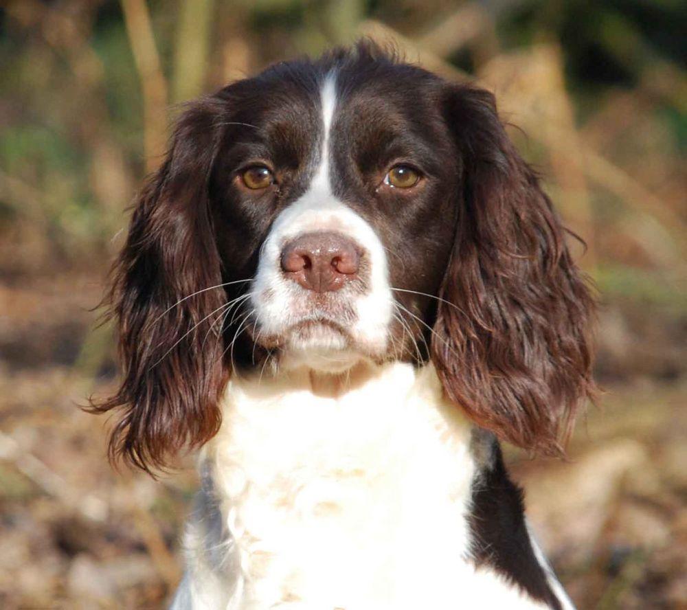 superb-english-springer-spaniel-puppies-524802881619b.jpg