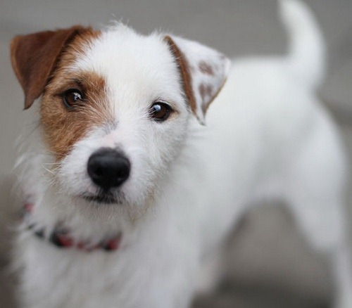 Where_Not_To_Get_A_Jack_Russell_Terrier.jpg