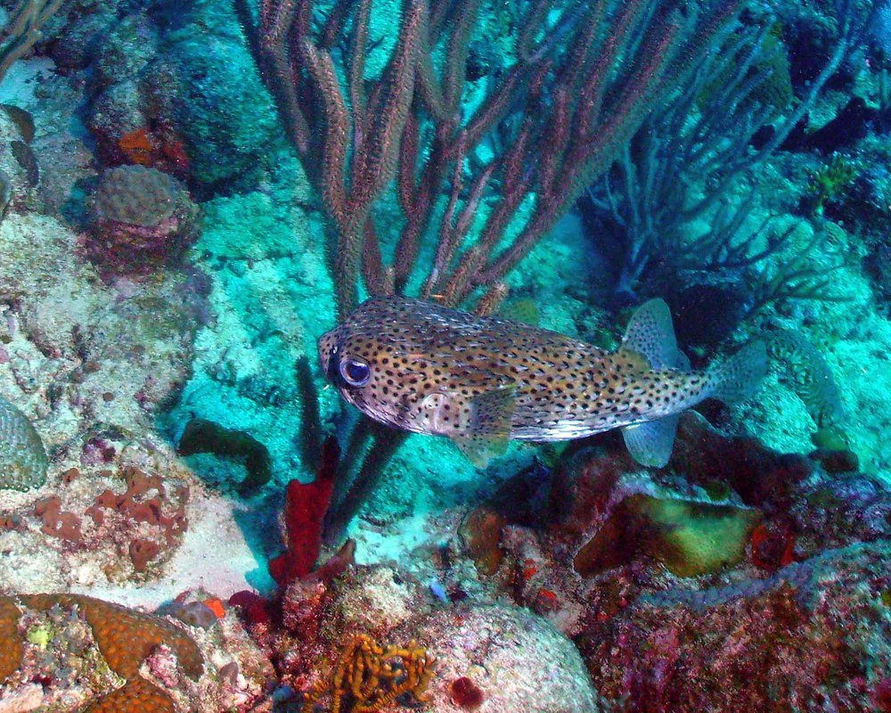 porcupine_fish_1_1-16-2008_web.jpg