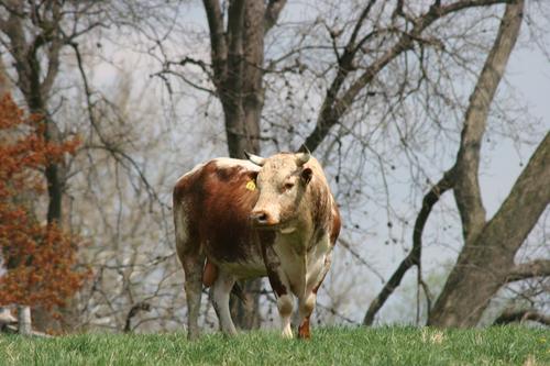 Lineback Bull