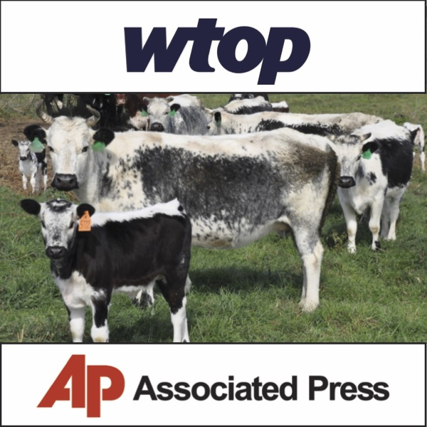 WTOP and THE ASSOCIATED PRESS November 4, 2015 From the brink of extinction to the dinner plate: A local farm saves rare heritage cattle (read article online)