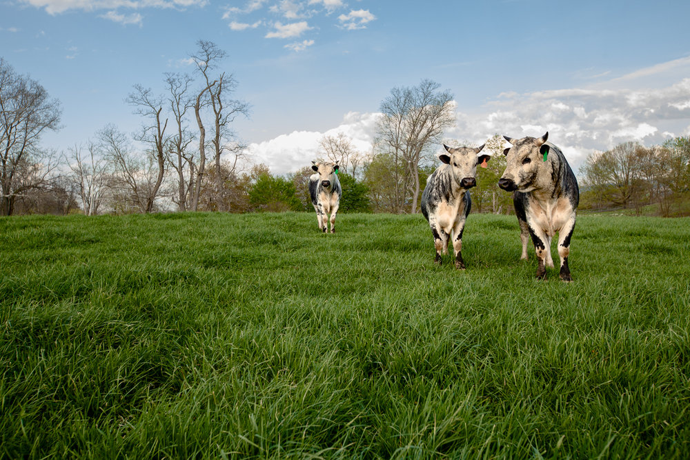 Randall Lineback bulls enjoy the green grass and blue skies of Chapel Hill Farm.