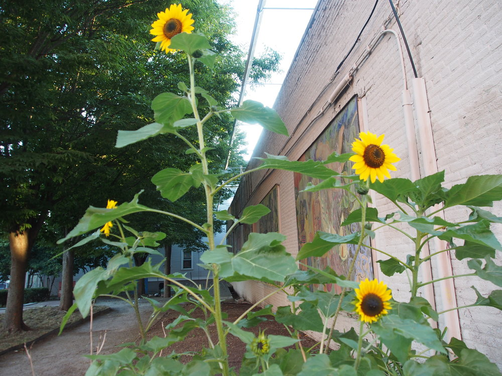 Sunflowers in Egleston Square - photo by Charla Jones