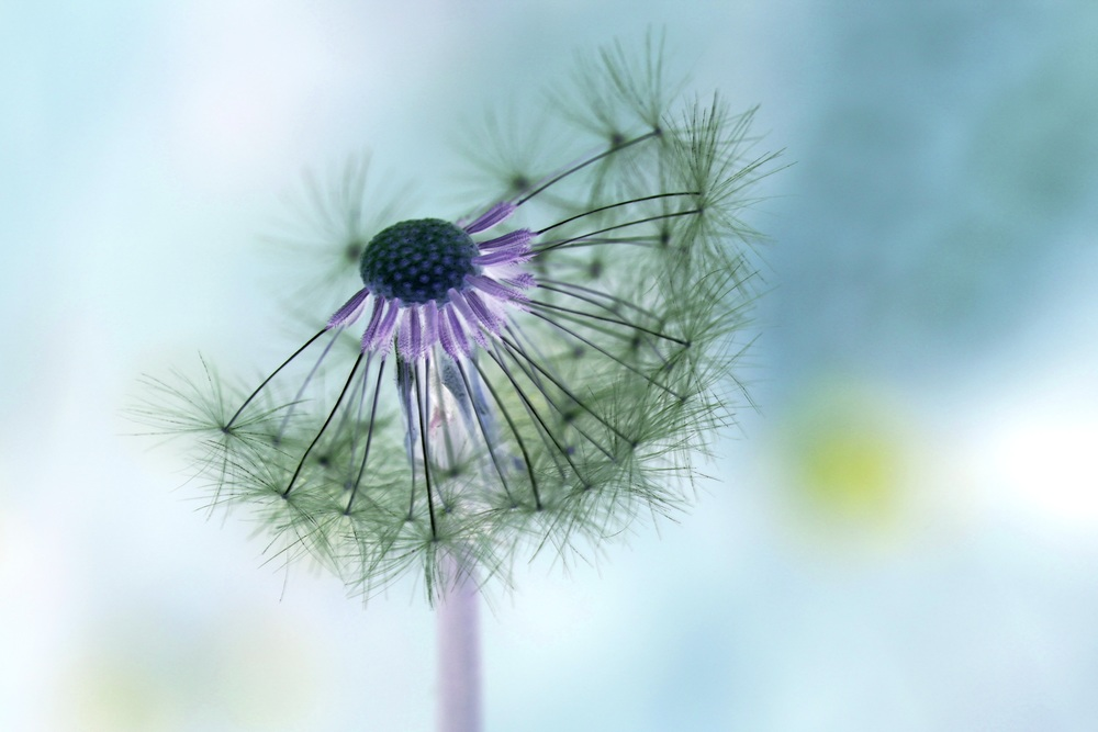 dandelion-167112.jpg