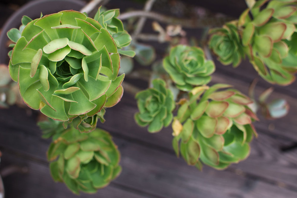 succulents-kristen-williams-designs