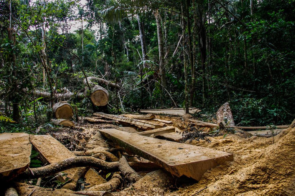 Logging in Peru 2.jpg