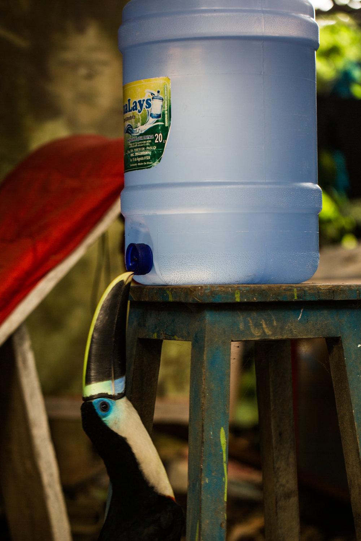 Toucan Drinking Water.jpg