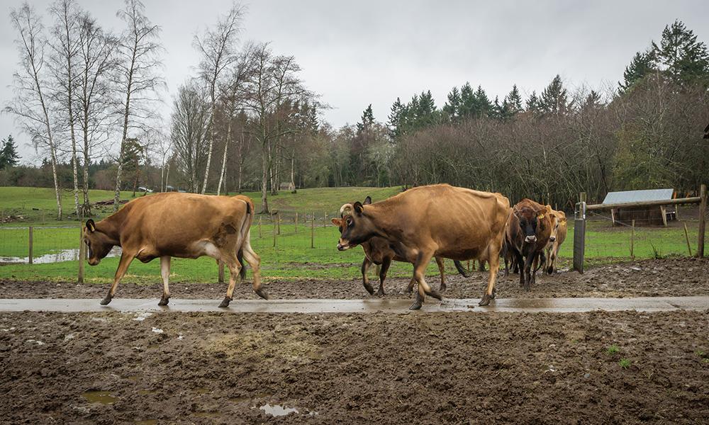 jarrybriefs_kurt_cows.jpg