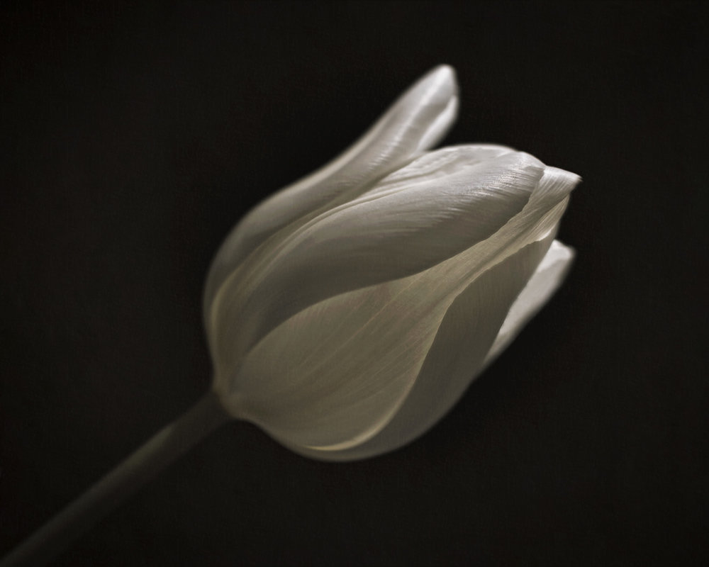 Beautiful Light & Tulips