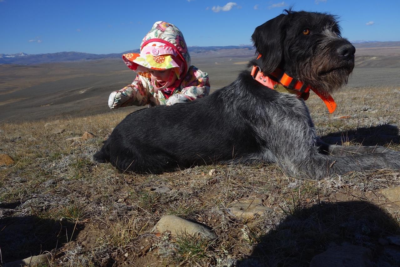 GWP Puppies 2015