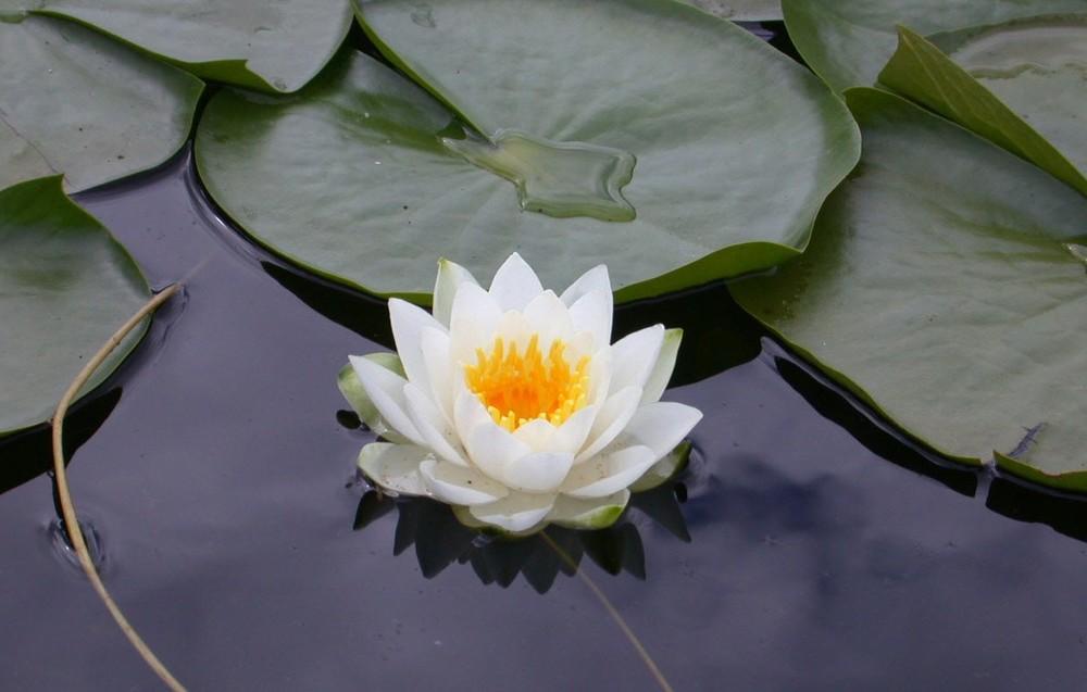 Lotus_-_flower