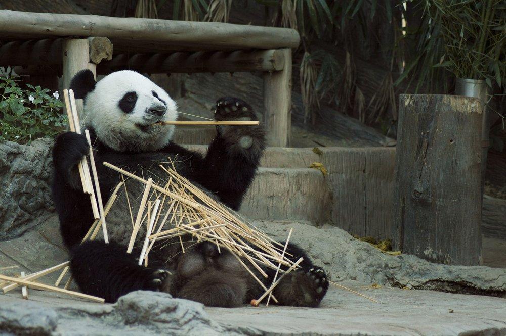 panda-1203101_1920.jpg