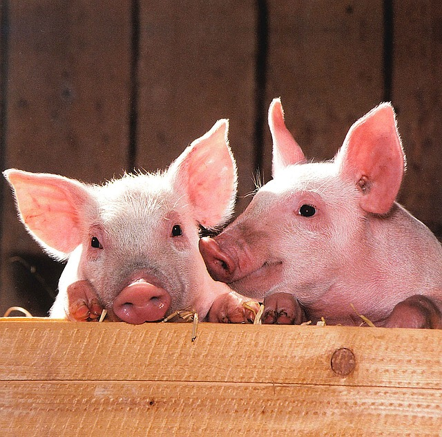año del cerdo tierra.jpg
