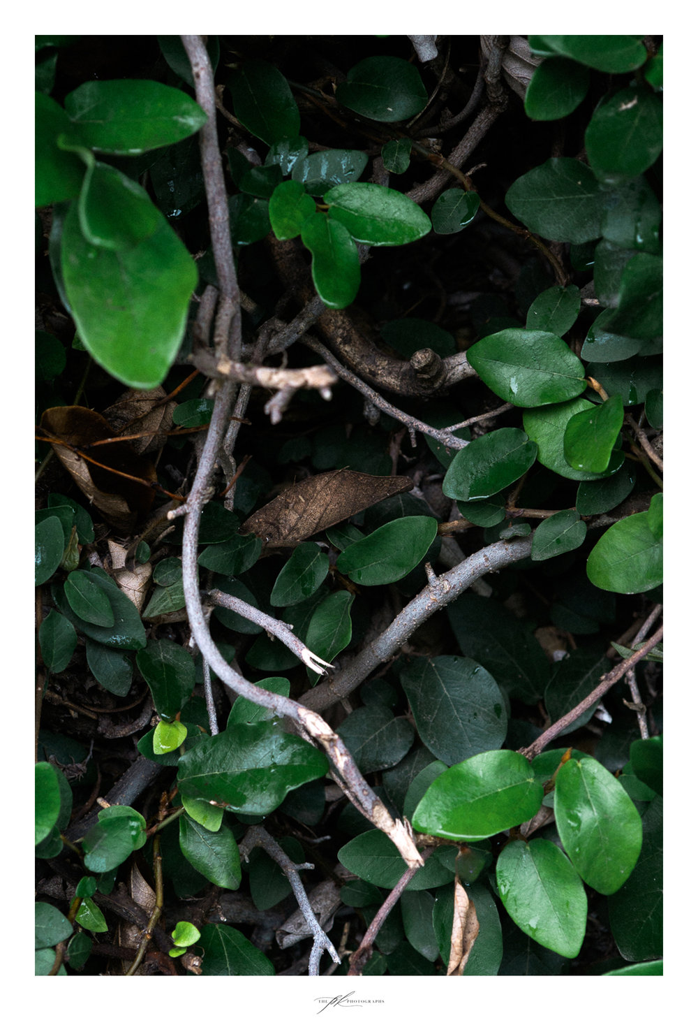 ivy-branches-leaves-up-close.jpg