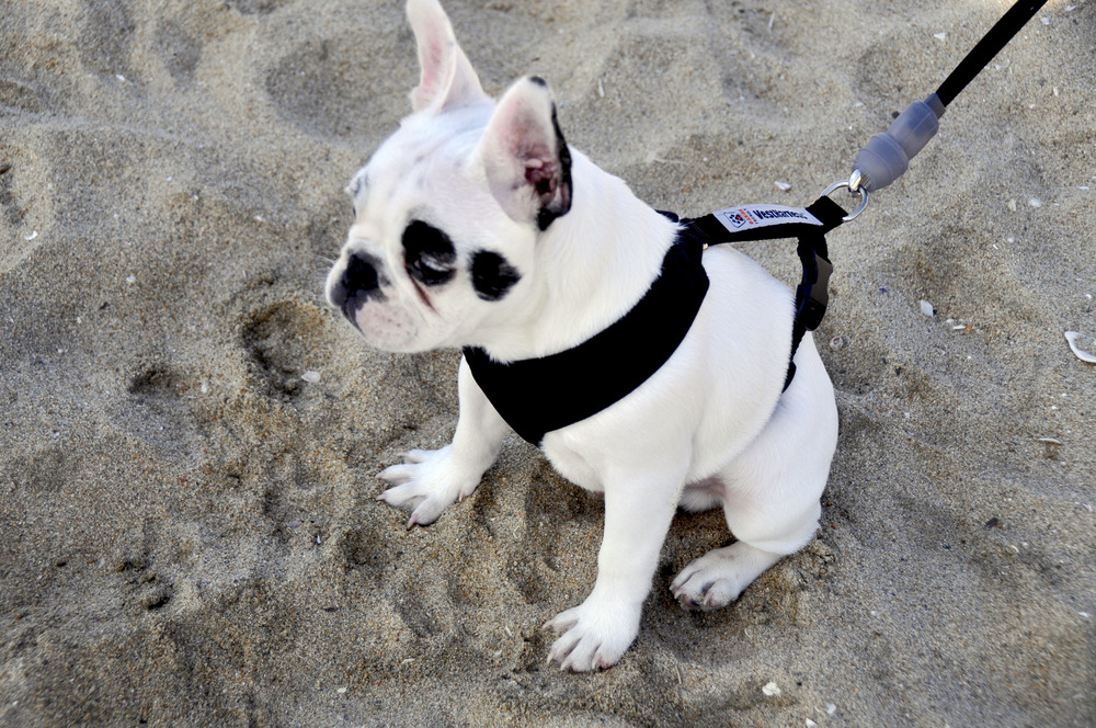 HB_French_Bulldog