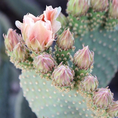 Exotic and natural beauty ritual crafted from the cactus field. Learn more about the prickly pear cactus fruit by clicking the link in our bio.
