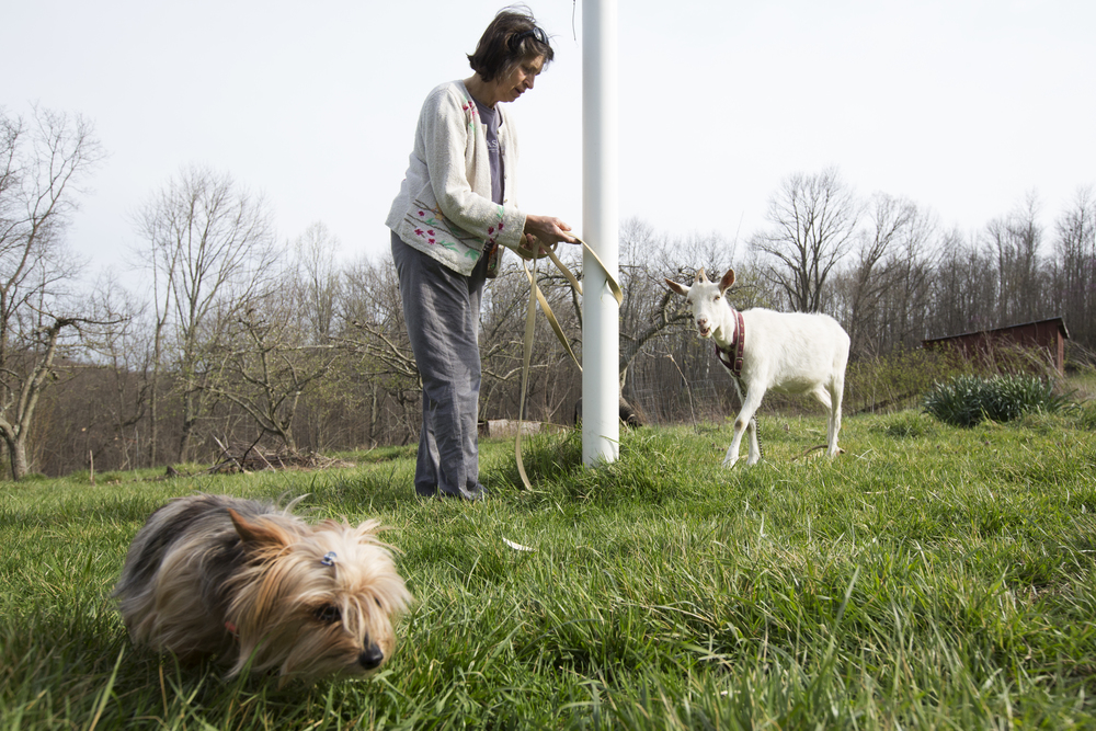 Trisha Brudno moves her goat to a fresh patch of grass to mow while Brudno's dog, Boots, wander around. Brudno and her husband Marshall live with their children on a farm on Fleming Road in Ames Township.