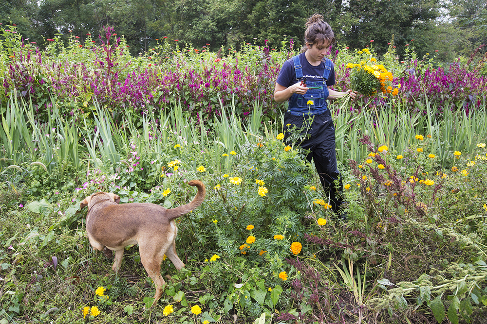 Nellie Ashmore picks marigolds while her dog, Brodie, frolics next to her at her family's farm in Clarksville, Ohio, Wednesday, Sept. 25, 2013. Ashmore grew up farming with her family who own That Guy's Family Farm. The family sold cut flowers in addition to produce and poultry. This past year Ashmore turned flowers into a full time job, planting and selling under the brand That Girl's Flowers. Ashmore spent Wednesday making bouquets for a grocery store that stocks her inventory.
