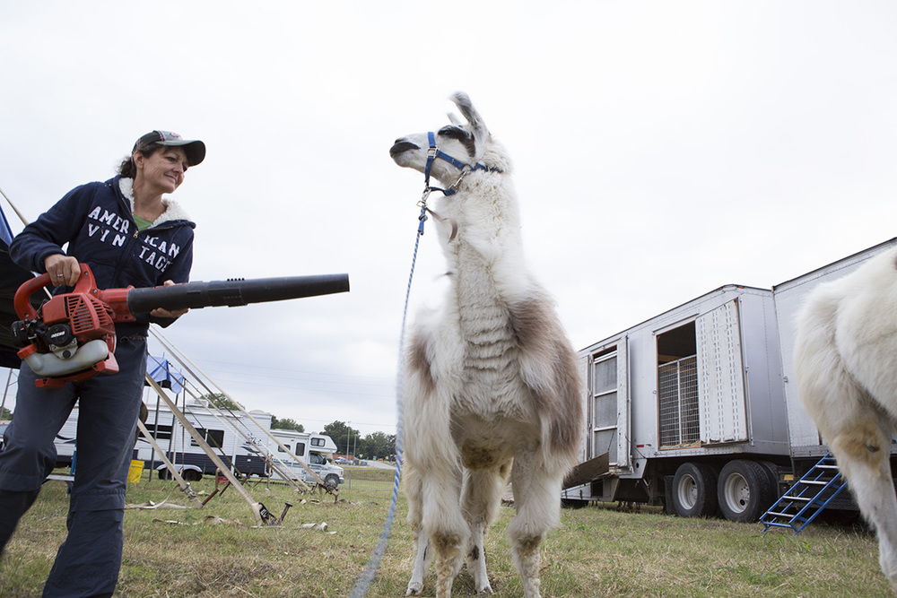 Carolyn Rice grooms the llamas using a leaf blower. Rice and her husband Mike Rice train and perform with the animals in the show.