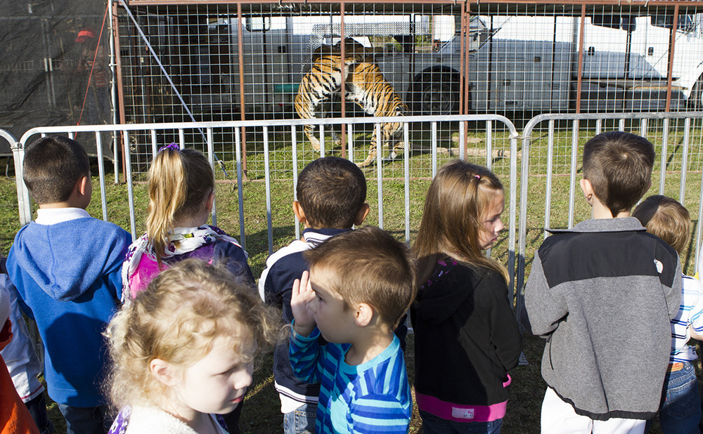 School children from Pryor, Okla. watch the tigers in their cages before watching the tent raising.