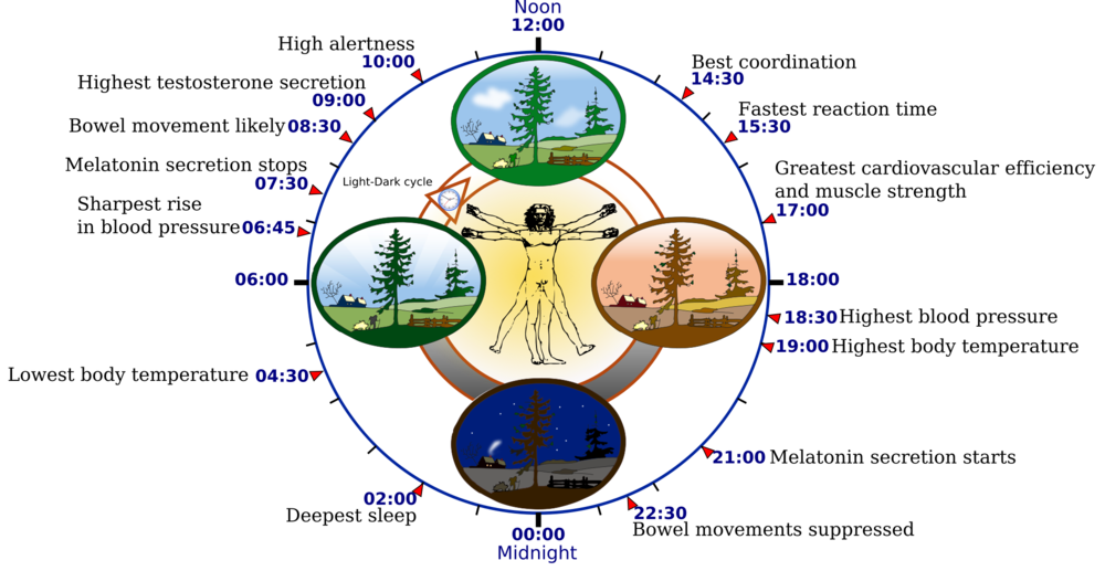 Circadian Rhythms and your daily biological clock