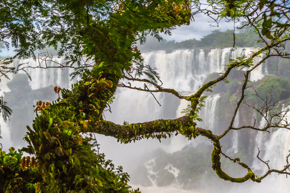Tree at Iguazu.jpg