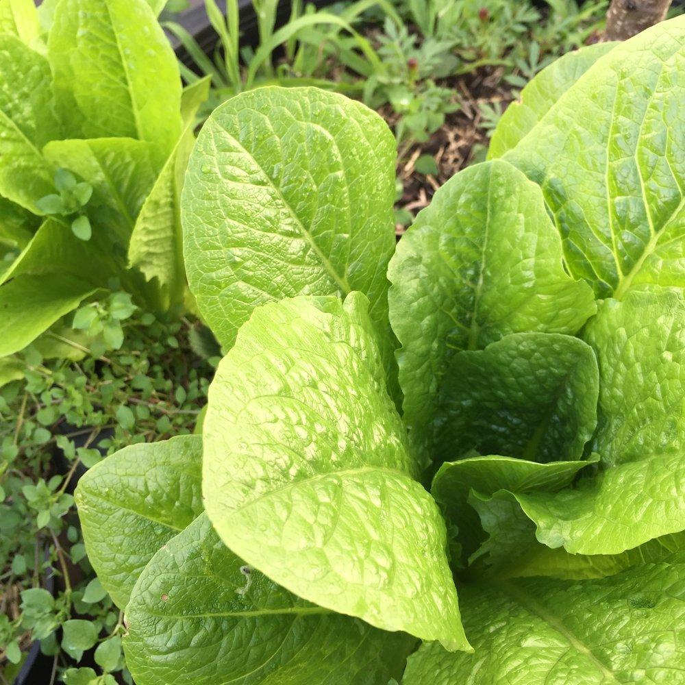 Lettuce Glowpear