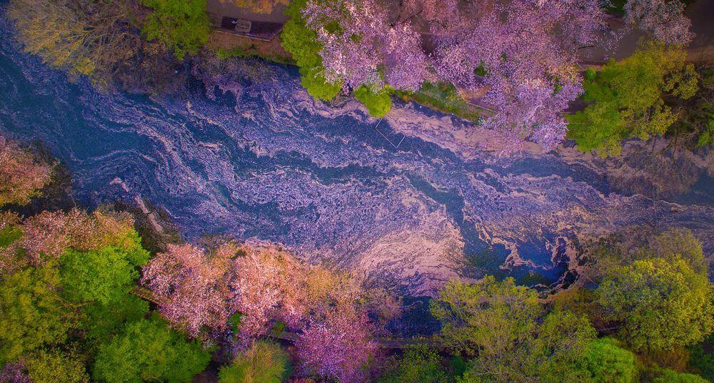 Inokashira Park blossoms © Danilo Dungo