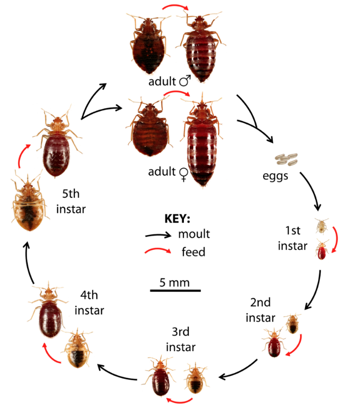 Life-Cyle-of-the-Bedbug.png