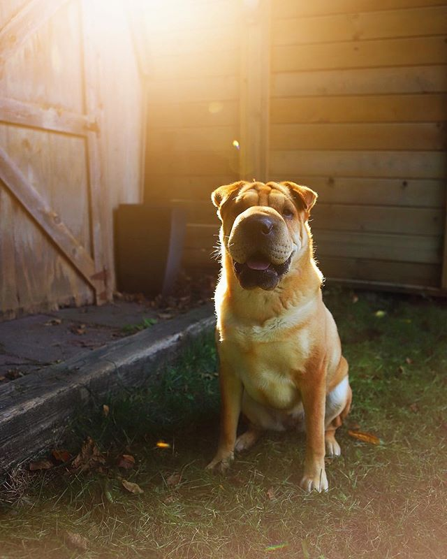 I'm flying to Iceland in a few.  I miss this little lady a ton already. ❤️ . . . #sharpei #canon #instadog #sharpeilove