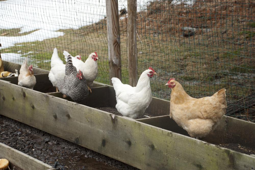 Chicks 2.jpg