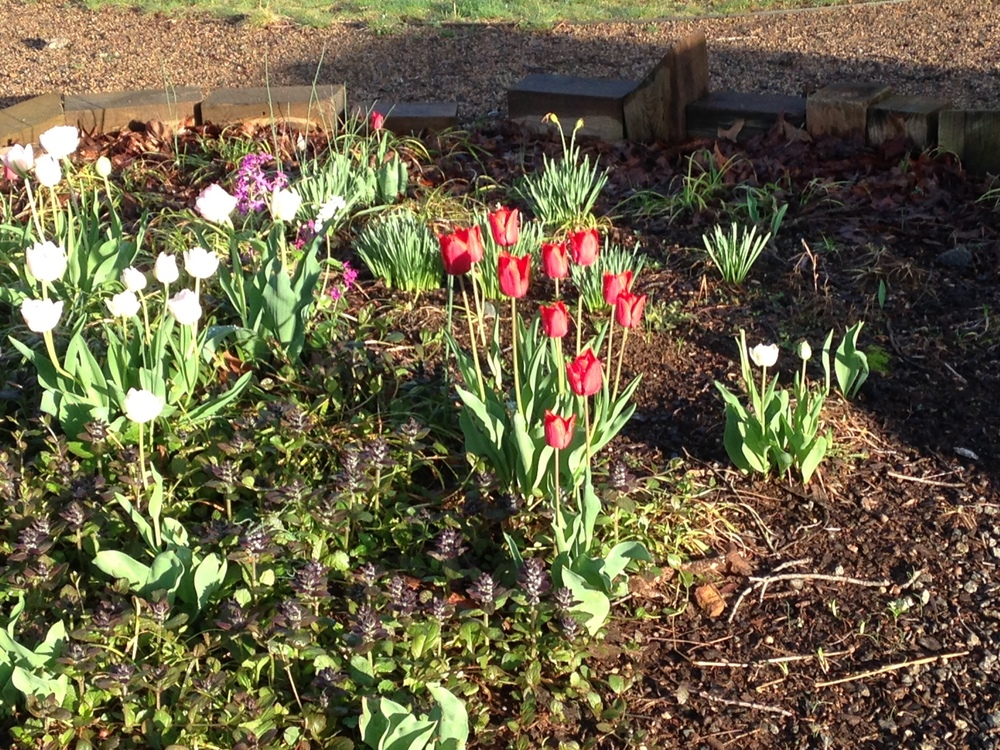 Tulips in front bed