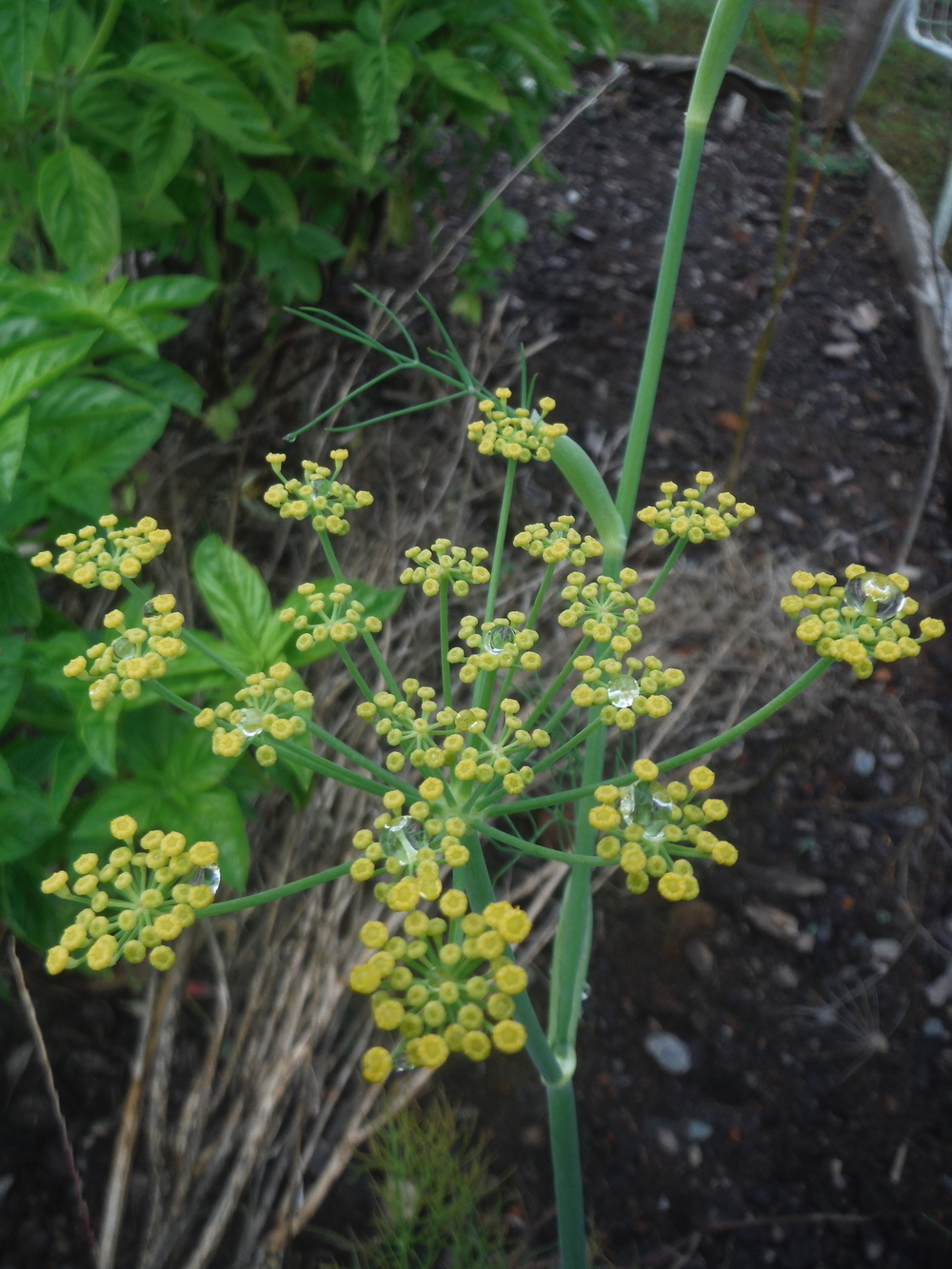 Fennel Flowers were beautiful holding the morning dew as I went to cut materials.