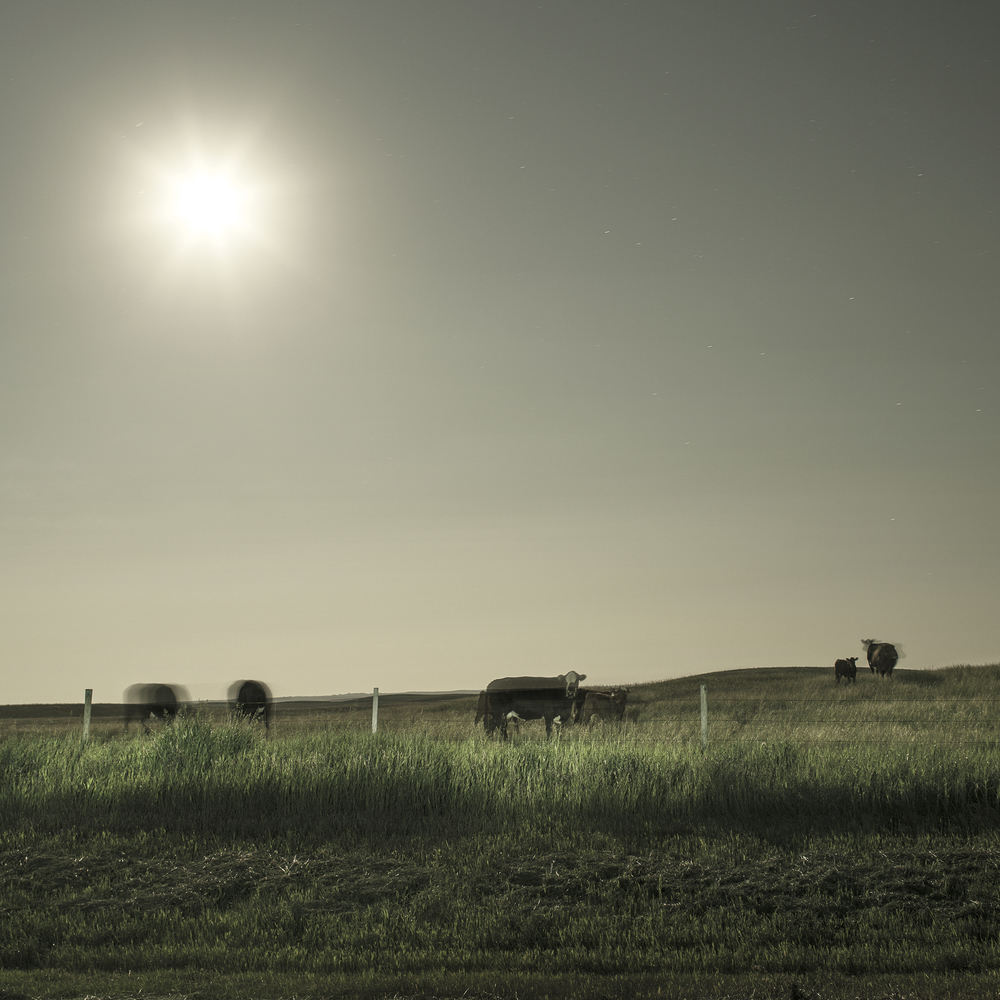 Cattle Under Moonlight (2014)
