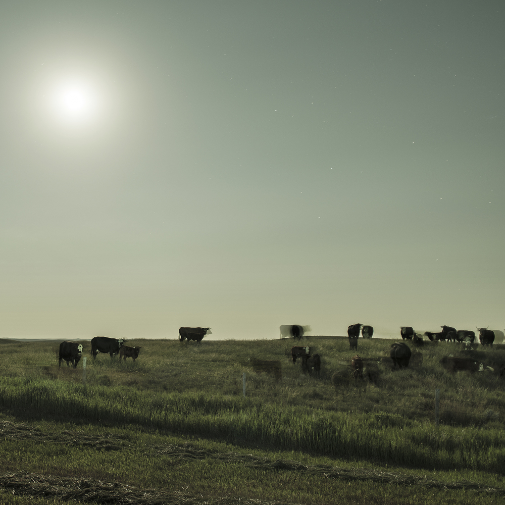 Herd Under Moonlight