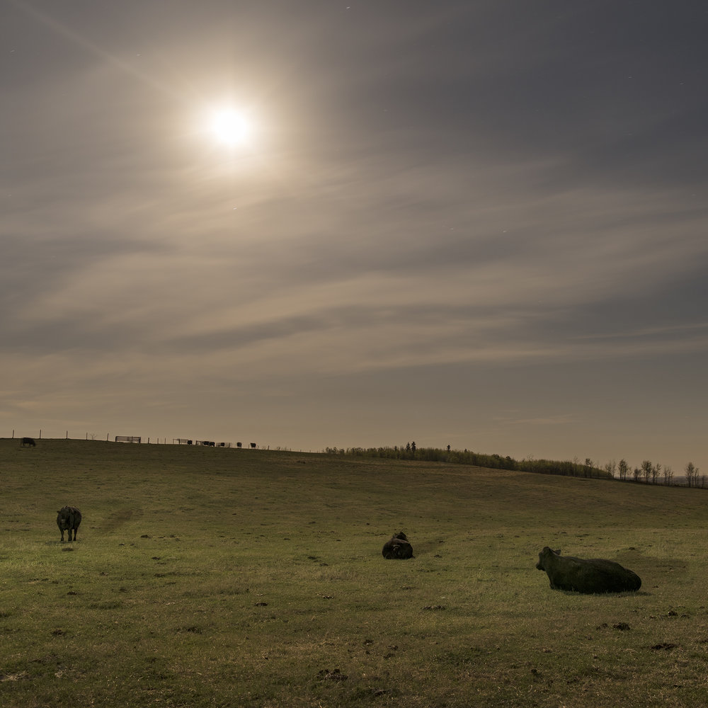 Calving Cows Under Moonlight (2016)