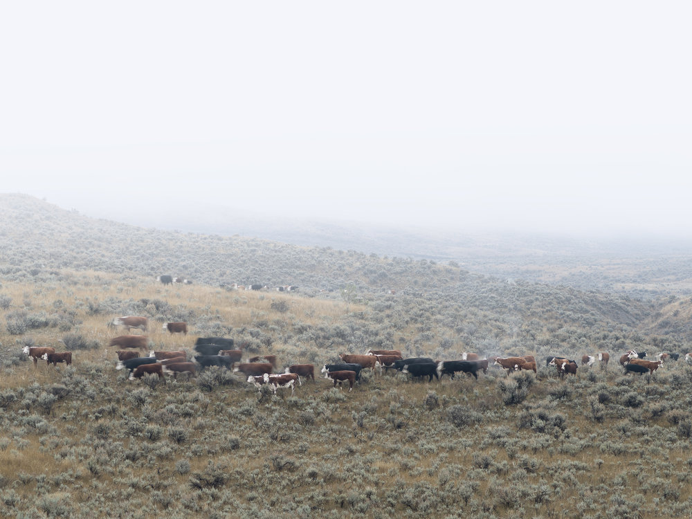 Cow and Calf with Herd Behind (2016)