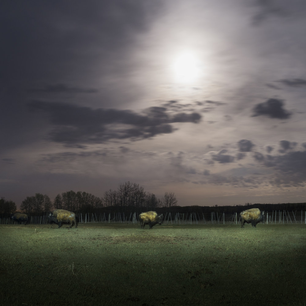 Buffalo Under Moonlight II (2016)