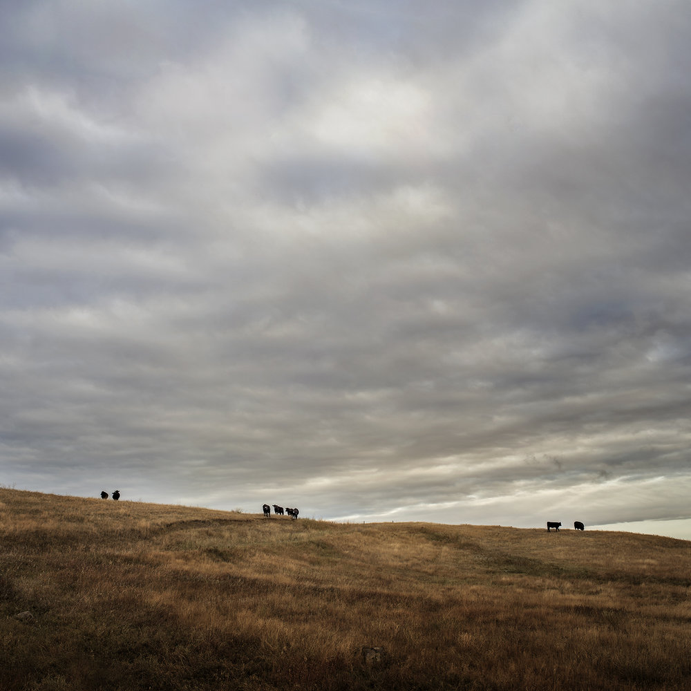 Cows on a Ridge (2014)