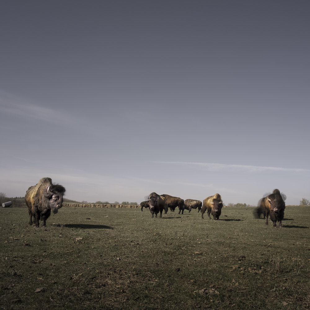 Buffalo in Controlled Grasslands (2016)